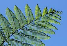 Fern Leaves Foto de Stock Royalty Free