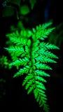 Fern Leaves Fotografia de Stock Royalty Free