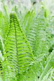 Fern Leaves Background Stock Photos