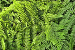Fern leaves background Royalty Free Stock Image