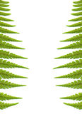Fern leaves background, isolated on white. Green fern leaves background, isolated on white stock photography