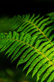 Fern leaves with beautiful pattern under bright light in spring Stock Photography