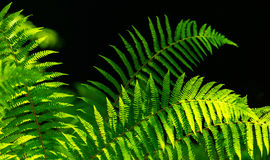 Fern leaves with beautiful pattern under bright light in spring Royalty Free Stock Images