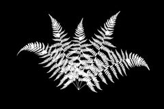 Fern leaves on the black. Fern white silhouettes isolated on a black Stock Photos