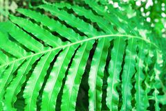 Fern leaves blechnum gibbum. Green leaf background.  Stock Photography
