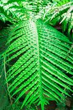 Fern leaves blechnum gibbum. Green leaf background.  Royalty Free Stock Images