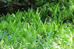 Fern leaves and bush in the summer forest Stock Photos