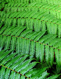 Fern leaves canopy Stock Photos