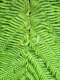 Fern Leaves Close-Up Royalty Free Stock Photos