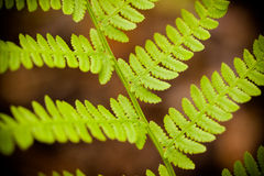 Fern leaves. Close up of fresh green fern leaves against, natural background Stock Image