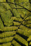 Fern leaves, close-up Royalty Free Stock Photos