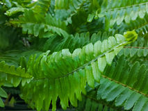 Fern  leaves Stock Images