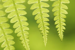 Fern leaves closeup Royalty Free Stock Photo