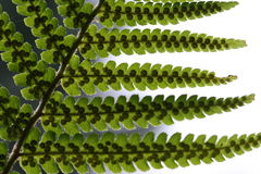 Fern leaves closeup. Closeup of green fern leaves with seeds Royalty Free Stock Images