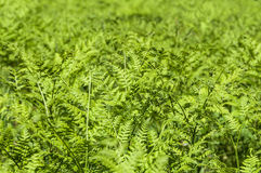 Fern leaves curly Stock Photography