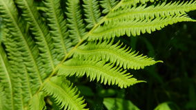 Fern leaves. Delicate tendrils of a fern in soft light Stock Photos