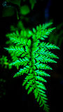 Fern leaves. Detail look of fern leaves with dark background Royalty Free Stock Photography