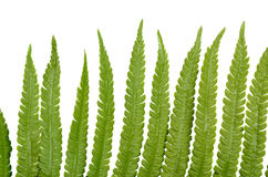 Fern leaves with dew on the white Stock Photography