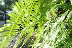 Fern leaves. Of different shades of green under the sunlight Royalty Free Stock Images
