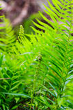 Fern leaves in forest Royalty Free Stock Image