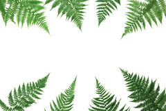 Fern leaves frame isolated on white background overhead view. Flat lay styling. Royalty Free Stock Photos
