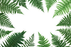 Fern leaves frame isolated on white background top view. Flat lay styling. Stock Photo