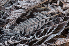 Fern Leaves in the frost Royalty Free Stock Photo
