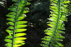 Fern leaves in the garden.  Stock Image