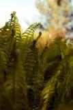 Fern leaves in   garden. Royalty Free Stock Photo