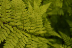 Fern. The leaves of green fern Stock Photography