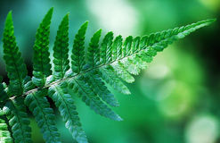 Fern leaves on a green background (lat. Polypodióphyta). Stock Photo