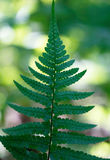 Fern leaves on a green background (lat. Polypodióphyta). Vertic Stock Image