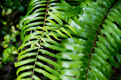 Fern leaves on green background in wet forest. Young spring fern leaves on green background in wet forest Stock Images