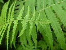 Fern leaves. The green fern leaves close-up macro Stock Photo