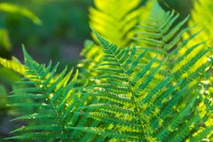 Fern leaves growing in forest in summer sunlight Royalty Free Stock Image