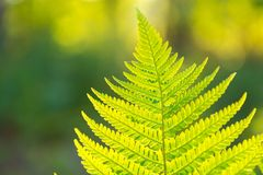 Fern leaves growing in forest in summer sunlight Stock Images