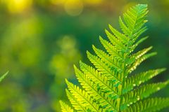 Fern leaves growing in forest in summer sunlight Royalty Free Stock Photo