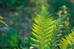 Fern leaves growing in forest in summer sunlight Royalty Free Stock Photography