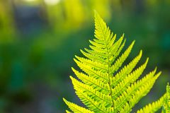 Fern leaves growing in forest in summer sunlight Royalty Free Stock Photos