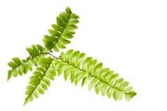 Fern leaves isolated. On white background Royalty Free Stock Images