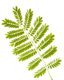Fern leaves isolated. Stem of fern leaves isolated on white background Stock Photography