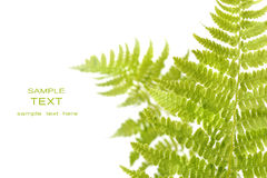 Fern leaves isolated on a white Royalty Free Stock Images