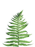 Fern leaves isolated Stock Image