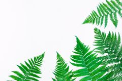 Fern leaves isolated on white background. Flat lay, top view. Fern leaves frame, isolated on white background. Bright floral border with space for text. Natural Royalty Free Stock Photo