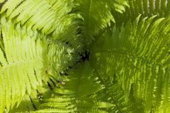 Fern Leaves kotte fotografering för bildbyråer