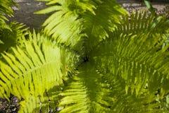 Fern Leaves kotte royaltyfri bild