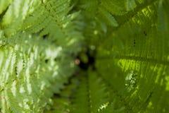 Fern Leaves kotte arkivbild