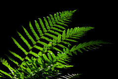 Fern leaves lighted against dark background Stock Photo