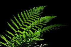 Fern leaves lighted against dark background Stock Photo