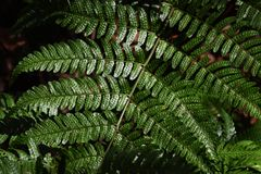 Fern leaves. Natural texture of fern leaves Stock Photos